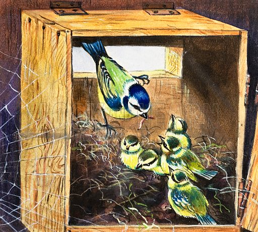 Bluetits. Original artwork loaned for scanning by the Illustration Art Gallery.