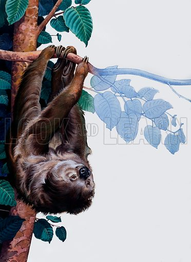 Two toed Sloth. Original artwork loaned for scanning by the Illustration Art Gallery.