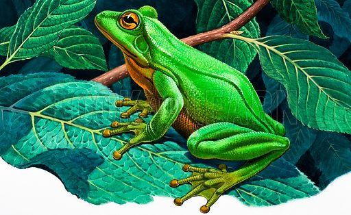 Great green tree frog.