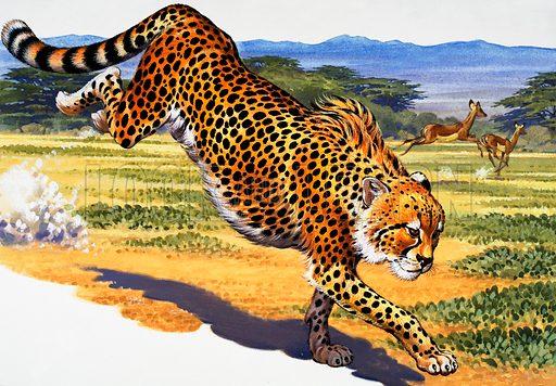 Cheetah. Original artwork loaned for scanning by the Illustration Art Gallery.