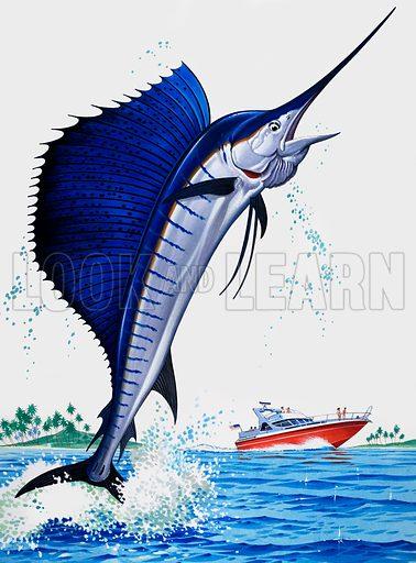 Sail Fish.