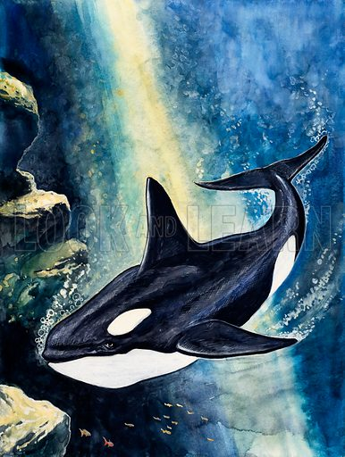 Killer Whale. Original artwork loaned for scanning by the Illustration Art Gallery.