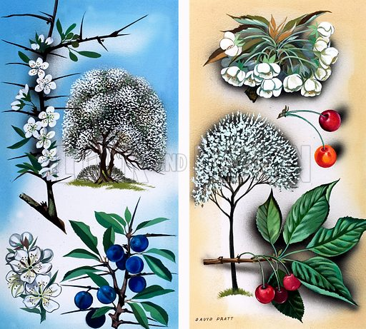 All Sorts of Wild Fruit Trees. From Once Upon a Time no. 81.