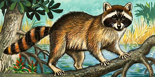 racoon, picture, image, illustration