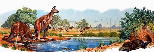 Red kangaroo and duck bill platypus.