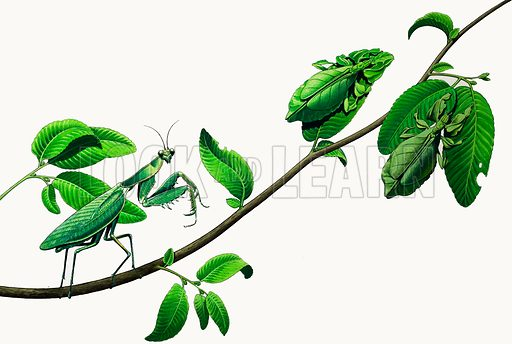 Leaf insects, picture, image, illustration