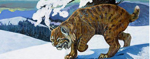 Bobcat. Original artwork loaned for scanning by the Illustration Art Gallery.