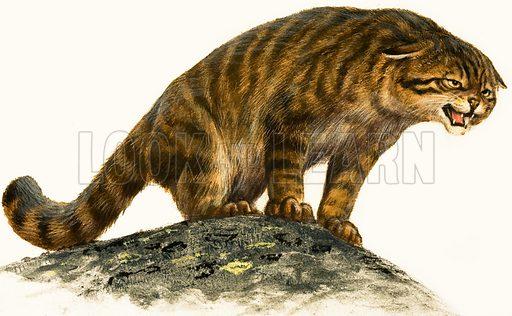 Wildcat.