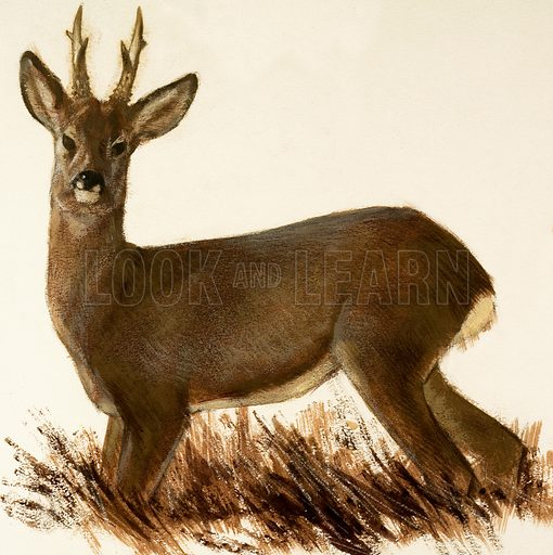 Roe Deer. Original artwork loaned for scanning by the Illustration Art Gallery.