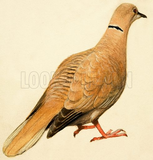 Eastern Collared Dove.