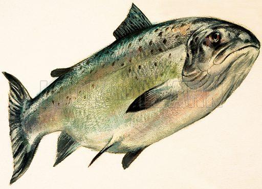 Female Salmon.