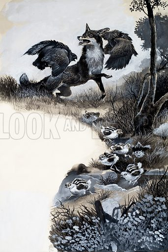 Fox under attack. Original artwork loaned for scanning by the Illustration Art Gallery.