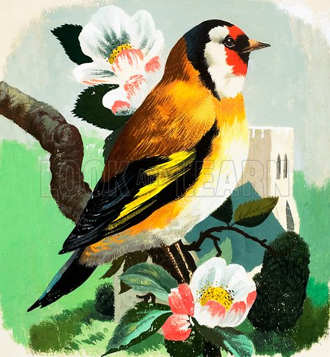 Chaffinch. Original artwork loaned for scanning by the Illustration Art Gallery.