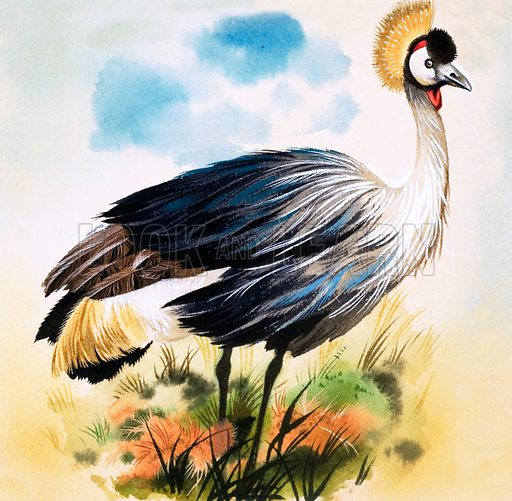 Crowned Crane. Original artwork (dated 24/10/64) loaned for scanning by the Illustration Art Gallery.