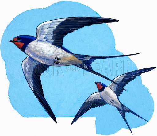 Swallows. Detail from Treasure no. 66 (18 April 1964). Original artwork loaned for scanning by the Illustration Art Gallery.