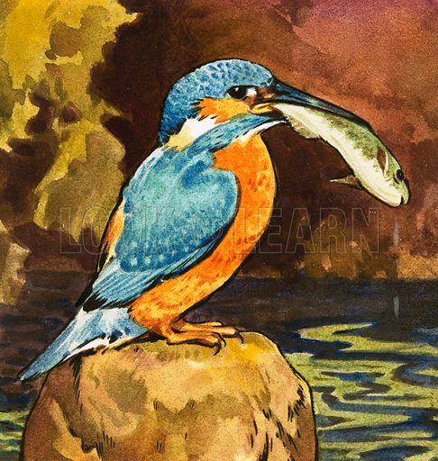 Kingfisher with fish. Original artwork from Look and Learn no. 245 (24 September 1966).