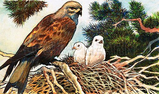 Kestrel and chicks. Original artwork.