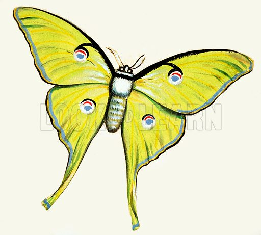 Unidentified butterfly. Original artwork.