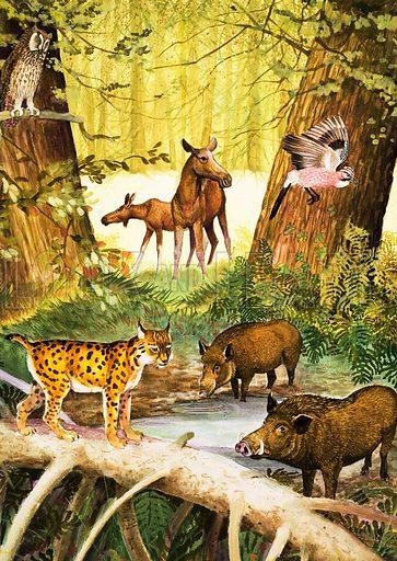 Peeps Into Nature: The Animals of Europe. Original artwork from Treasure no. 227 (20 May 1967).