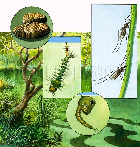 Nature's Kingdom: The Bite That Brings Disease. The lifecycle of the mosquito. Original artwork from Look and Learn no. 1048 (10 April 1982).
