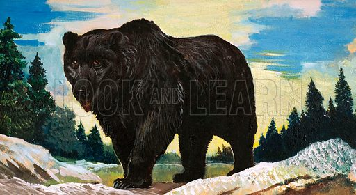Wonders of Nature: Yogi Bear's Real-Life Relatives. Black Bear. Original artwork from Look and Learn no. 129 (4 July 1964).