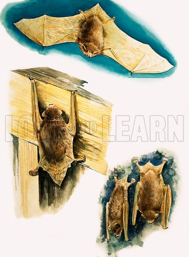 Bats. Original artwork from Treasure no. 160 (5 February 1966). Reused in The 3rd Treasure Book of Animals.