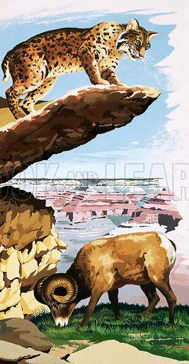 Peeps Into Nature: The Grand Canyon National Park. Bobcat and Bighorn sheep. Original artwork from Treasure no. 275 (20 April 1968).