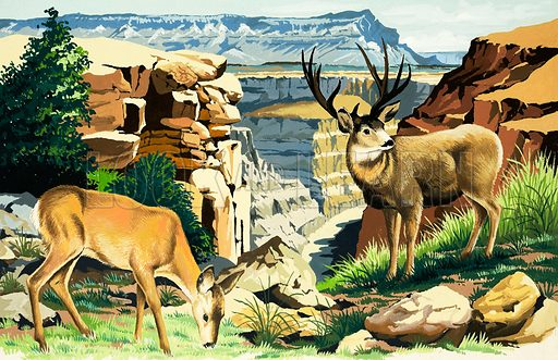Peeps Into Nature: The Grand Canyon National Park. Mule deer. Original artwork from Treasure no. 275 (20 April 1968).