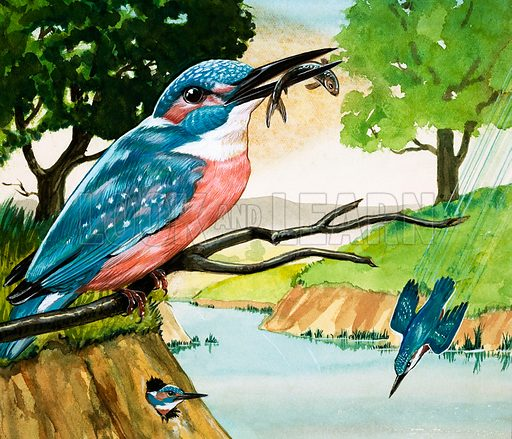 Peeps Into Nature: Creatures that go fishing. The Kingfisher. Original artwork from Treasure no. 289 (27 July 1968).