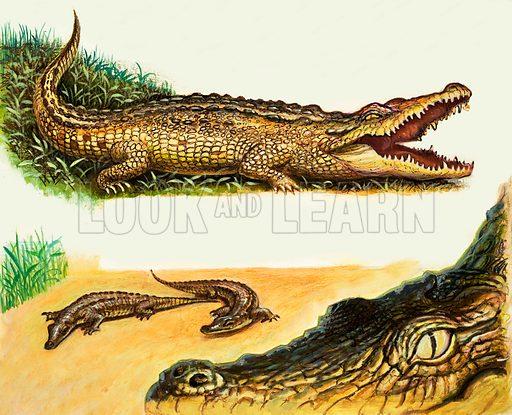 Peeps at Nature: Animals of the Swamps. Crocodiles. Original artwork from Treasure no. 229 (3 June 1967).