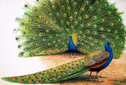 Nature Wonderland: The Bird with a Thousand Eyes. Peacocks. Original artwork from Treasure no. 379 (18 April 1970).