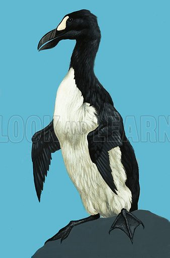 Great Auk. Original artwork.