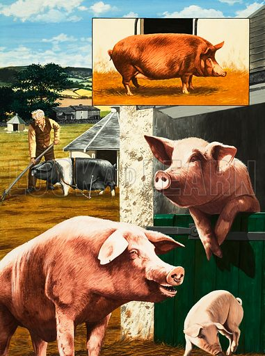 Nature's Kingdom: Clean as a Pig. The pig is actually one of the cleanest animals in the farmyard. Original artwork from Look and Learn no. 914 (28 July 1979).