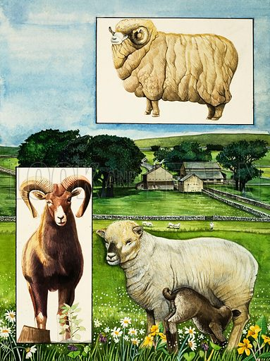 Nature's Kingdom: Timid But Tough. Sheep – the Southdown (main pic), the Rambouillet (top) and the Urial (left). Original artwork from Look and Learn no. 912 (14 July 1979).