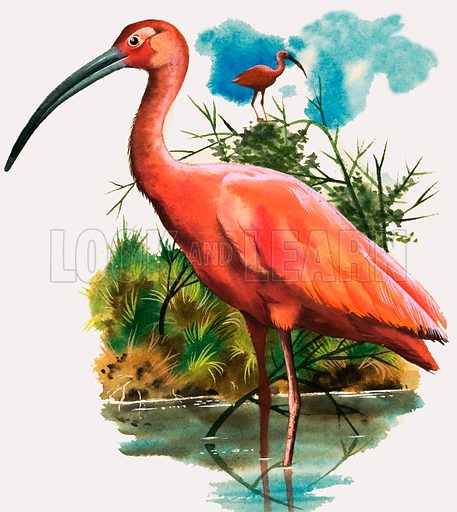 Birds of a Feather. The Scarlet Ibis. Original artwork from The Look and Learn Book of 1001 Questions and Answers 5. Originally printed flipped left to right.