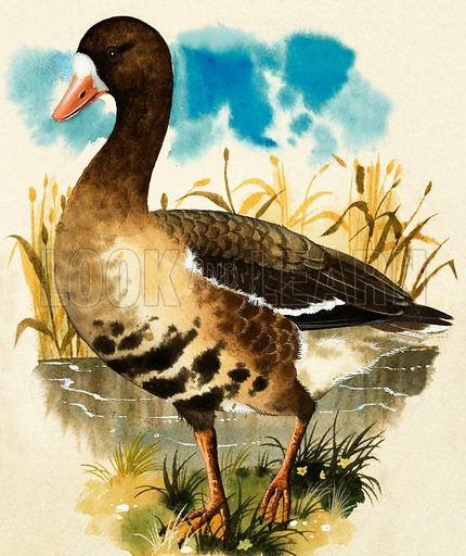 Birds of a Feather. White Fronted Goose. Original artwork from The Look and Learn Book of 1001 Questions and Answers 5. Originally printed flipped left to right.