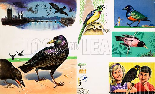 Peeps at Nature: Starlings. Examples of the starling family include the Golden Breasted Starling (top middle), Glossy (top right), Rose Coloured (middle right) and the Mynah Bird (bottom right). Original artwork from Treasure no. 303 (2 November 1968).