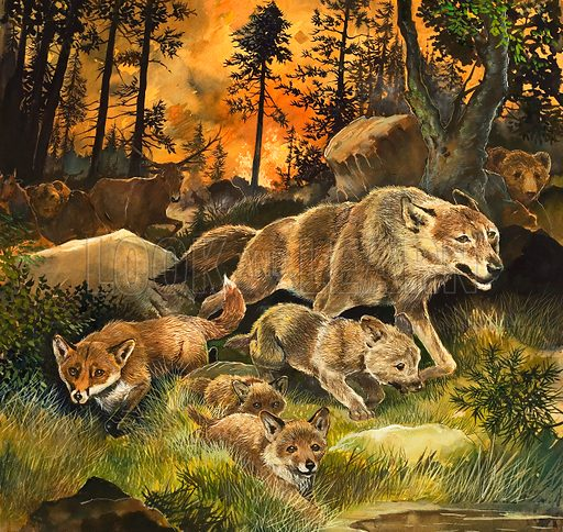 Animals fleeing forest fire (illustration, picture, art, artwork: G W Backhouse)