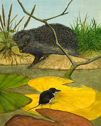 Water Shrew and Hedgehog. Original artwork from the Look and Learn Book of 1001 Questions and Answers 1974.
