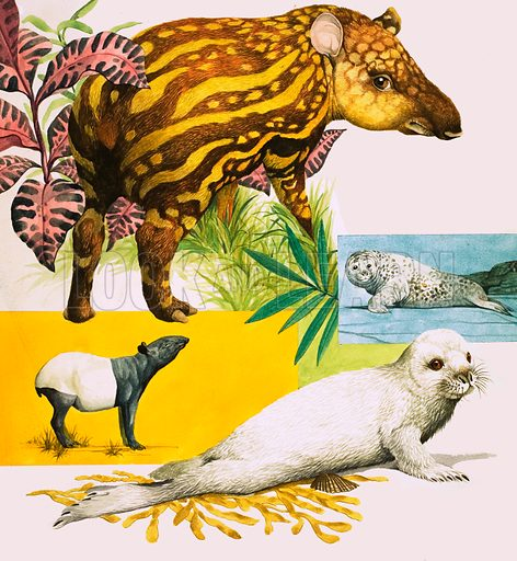 Peeps at Nature: Animals That Change Their Looks. The Malayan Tapir and Atlantic Grey Seal look very different as babies compared to when they are fully grown. Original artwork from Treasure no. 268 (2 March 1968).