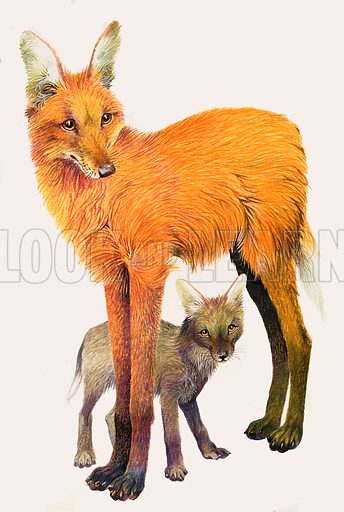 A Gentle Wolf on Stilts. The Maned Wolf, found in South America. Original artwork from Look and Learn no. 277 (6 May 1967).