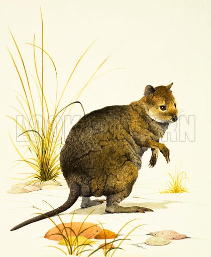 Nature's Alphabet: Q for Quokka. The Quokka from Australia, a type of wallaby. Original artwork from Treasure no. 390 (4 July 1970).