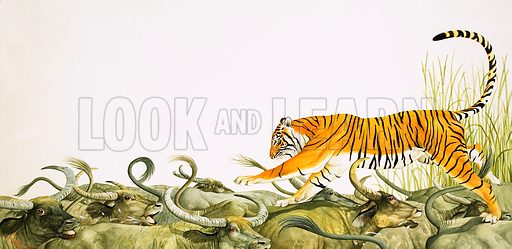 Tiger Royal, based on the short story by Norah Burke. A tiger running along the backs of buffalo. Original artwork from Look and Learn no. 309 (16 December 1967). Originally published in black & white.