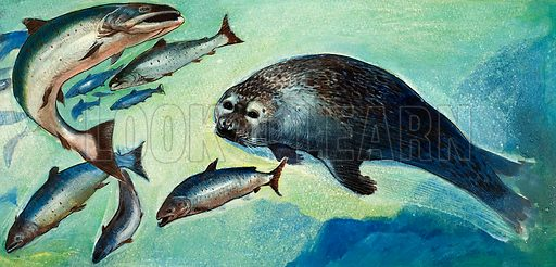 All About Animals. Seal and fish. Original artwork from the Look and Learn Book of 1001 Questions and Answers 1974.