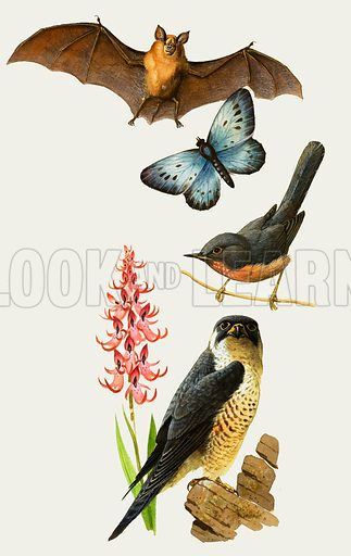 It's Your World: Time is Running Out. Britiish wildlife under threat of extinction includes (top to bottom) the horseshoe bat, large blue butterfly; dartford warbler, monkey orchid and peregrine falcon. Original artwork from Look and Learn no. 968 (27 September 1980).