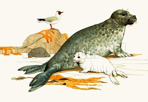 Animal Families: The Seals of Great Britain. Female Grey Seal with pup. The Grey Seal is also known as the Atlantic Seal. Original artwork from Look and Learn no. 332 (25 May 1968).