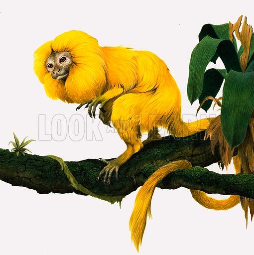 M for Marmoset. A Golden Lion Marmoset from the jungles of Brazil. Original cover artwork from Treasure no. 386 (6 June 1970).