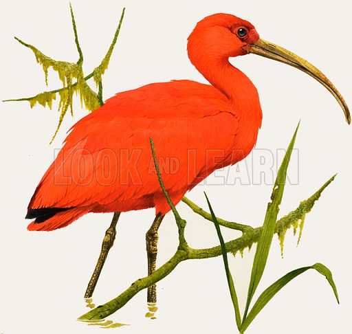 I for Ibis. A Scarlet Ibis from South America. Original cover art for Treasure no. 382 (9 May 1970).