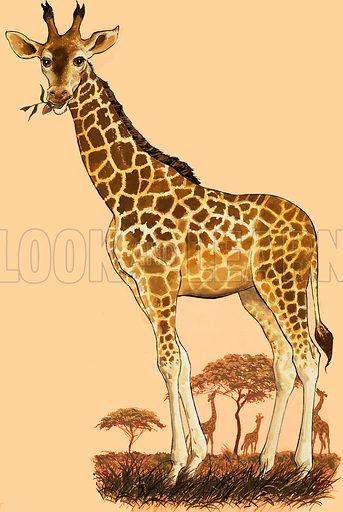 He keeps his head in the clouds. Giraffe. Original artwork from The Look and Learn Eighth Book of Wonders of Nature.