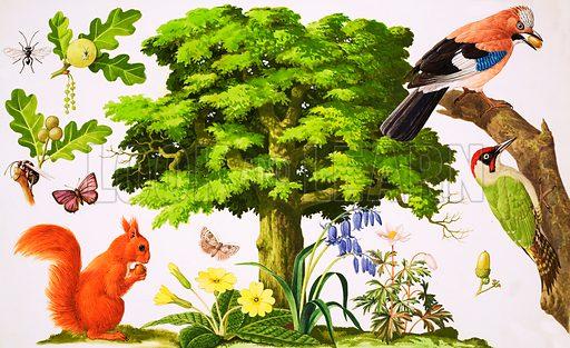 Oak tree, picture, image, illustration
